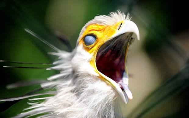 Птица секретарь: Одинокий рыцарь в змеином гнезде Птица-Секретарь, Птицы, Орнитология, Зоология, Животные, Дикие животные, Юмор, Книга животных, Длиннопост