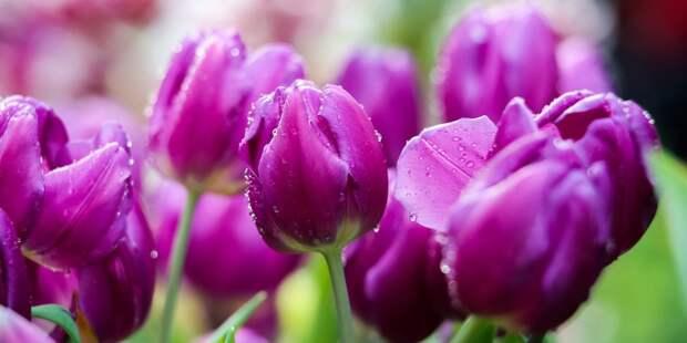 В Марфине высадят свыше 50 тысяч тюльпанов