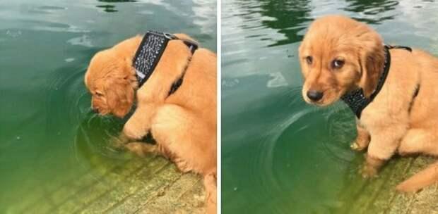 16. Это Рамен. Он приходит на пруд каждый день и пытается поцеловать черепаху. Пока еще ни разу не удалось. Оценка 13/10 должна его утешить! животные, оценка, популярный, собака, собаки, соцсети, твиттер, юмор