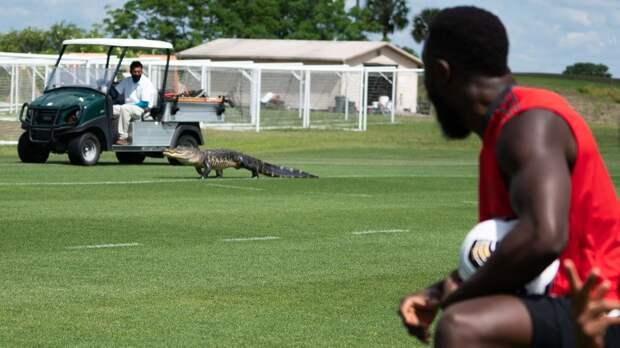 Тренировку «Торонто» прервал появившийся на поле аллигатор: видео
