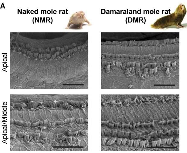 Мутантные белки волосковых клеток сделали землекопов почти глухими