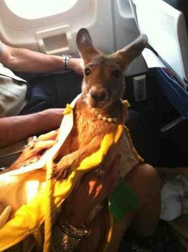 Неожиданный пассажир животные, забавно, летайте самолетами, мило, пассажиры, самолет, собаки, хвостатые пассажиры