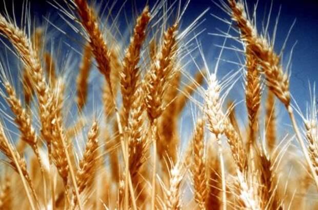 Пошлина на экспорт пшеницы из РФ со 2 июня составит $28,1 за тонну