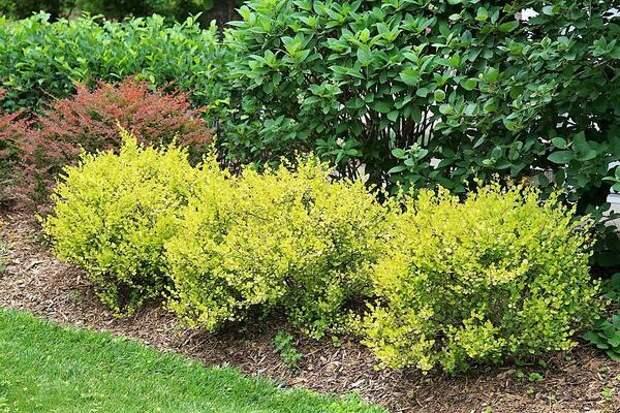 Берёза карликовая сорта Golden Treasure в саду. Фото с сайта provenwinners.com