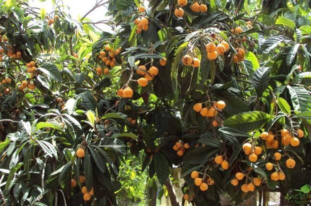 Дерево мушмулы японской