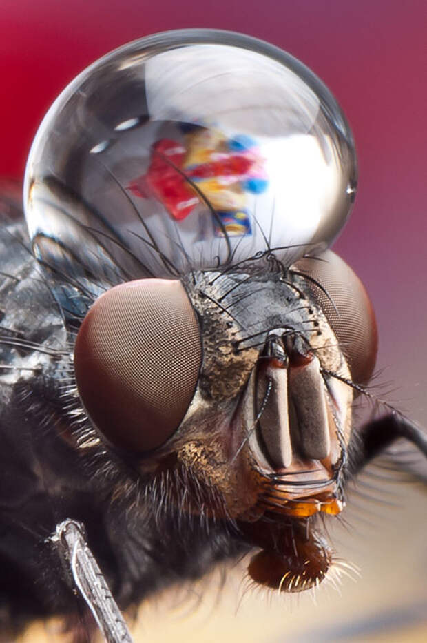 Incredible Macro Photos of Insects with Drops of Water On Their Heads waterdropinsects 2