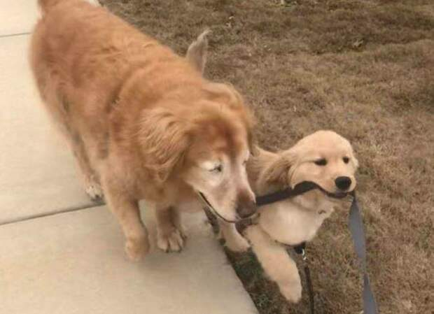 Маверик даже приспособился к инвалидности Чарли добро, друзья, животные, зрение, история, милота, собака