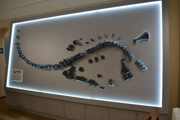Найденный в 2007 году скелет плезиозавра в Ундоровском палеонтологическом музее (Ульяновская область). Фото © Ундоровский палеонтологический музей