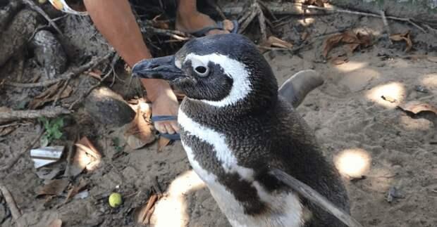 Верность пингвина