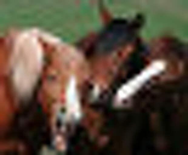 """Фотография """"Сплетницы"""" победитель в категории """"Могучий конь"""""""