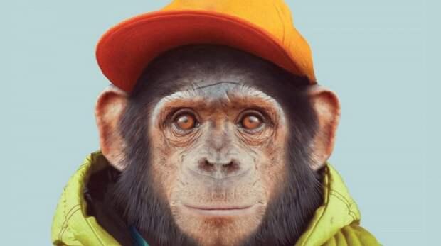 Его сын рос вместе с детёнышем шимпанзе: как сложилась судьба мальчика после проведенного над ним эксперимента
