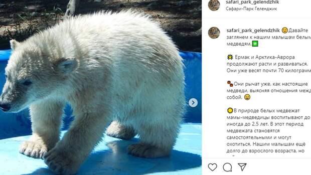 Фотографии подросших медвежат из сафари-парка «Геленджик» появились в Сети