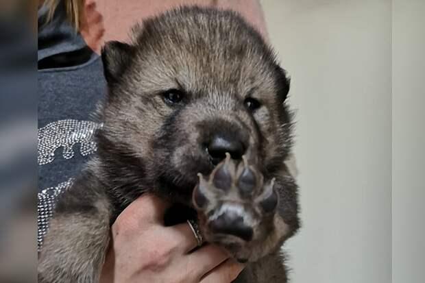 Щенок волка и маламута появился на свет в «Сибирском зоопарке» в Листвянке. Фото: личный архив Андрея Абрамова.