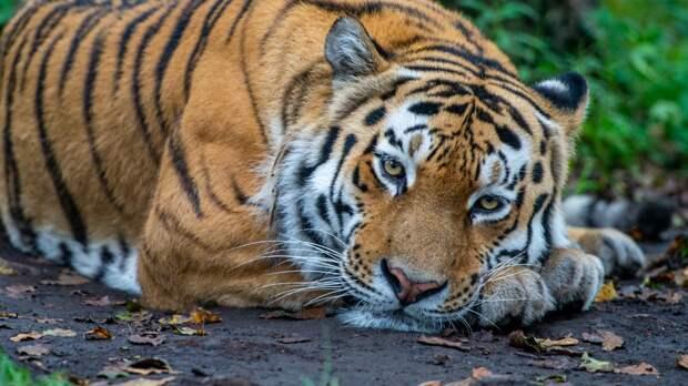 В Приморье семья тигров терроризирует жителей села Николо-Михайловка