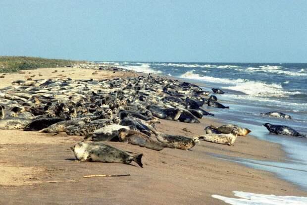 Причиной массовой гибели тюленей вКаспийском море может быть браконьерство