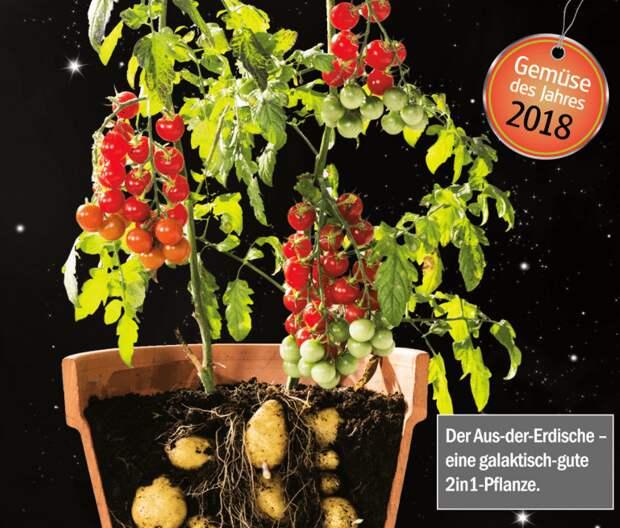 Гибрид томата и картофеля