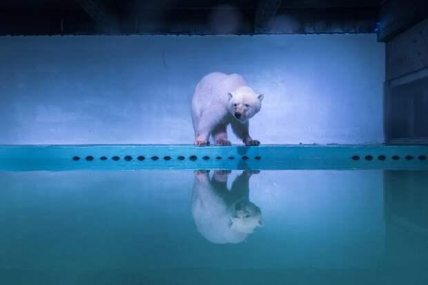 Белый медведь в аквариуме
