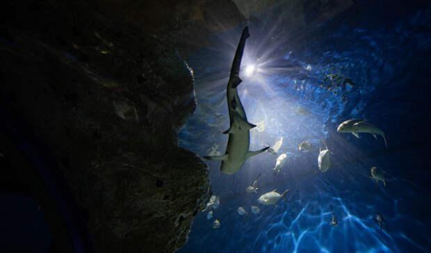 В Москвариуме  дебютирует 3-месячный детеныш белоперой акулы