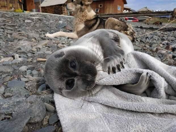 На Байкале собака помогла спасти малыша нерпы, приняв его за щенка