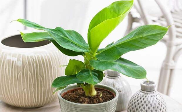 Выращиваем банановое дерево дома: саженцы проросли из мякоти магазинного банана