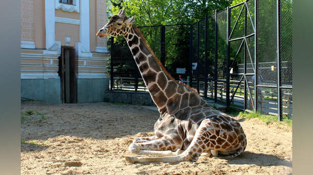 Жираф Самсон переселился в летний вольер Московского зоопарка