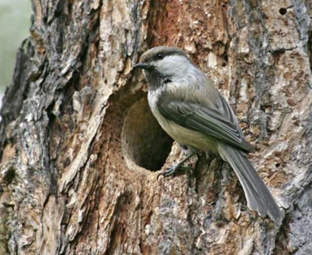 Гаичка черноголовая - птичка, которая выращивает лес