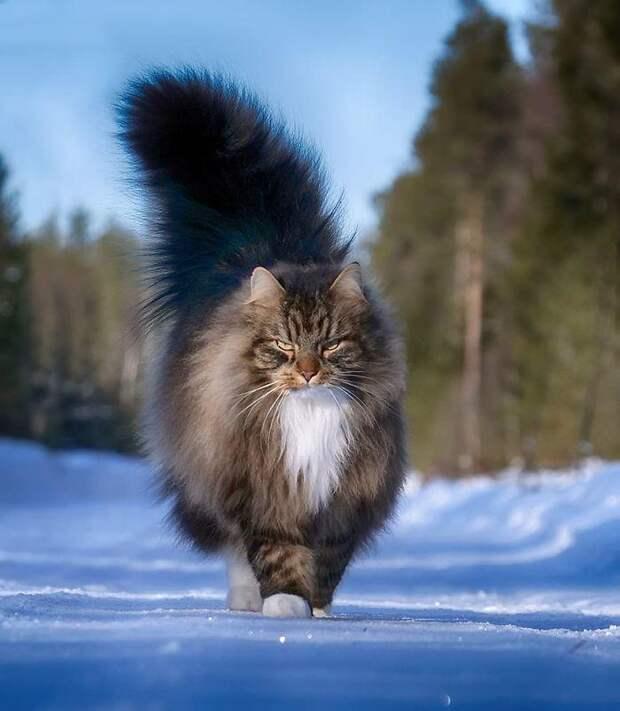 Суровые коты из Финляндии на зимних просторах