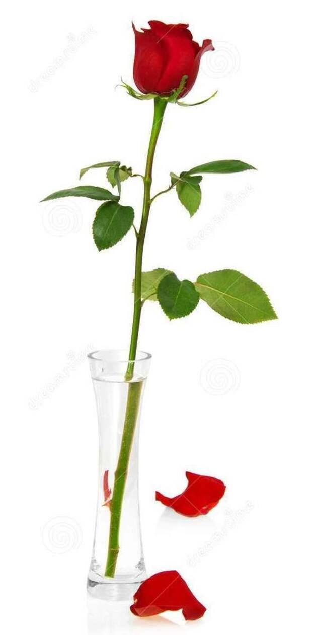 Как у меня роза росла Длиннопост, Роза, Выращивание, Цветок