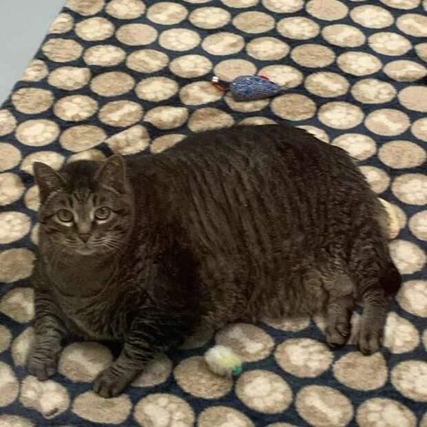 Толстый кот знает, что новогодние праздники — повод прибавить ещё пару сантиметров в талии