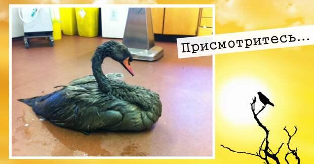 Это — не чёрный лебедь! Волонтёры тоже ошиблись, хотя у бедной птицы счёт уже шёл на минуты…