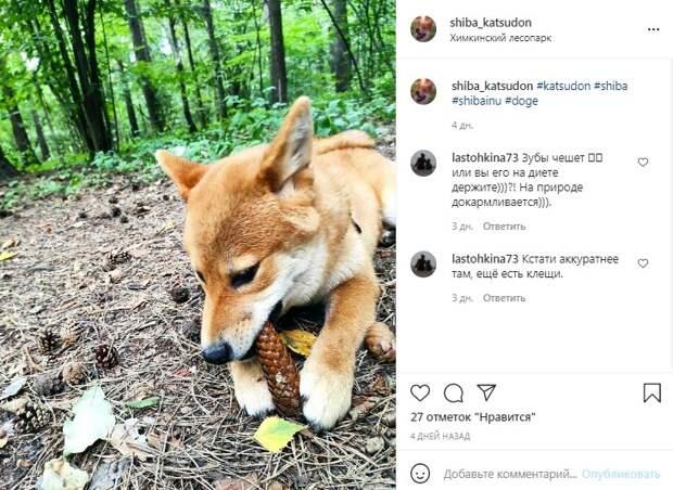 Фото дня: Сиба-ину отыскал бюджетные лакомства в Химкинском лесопарке