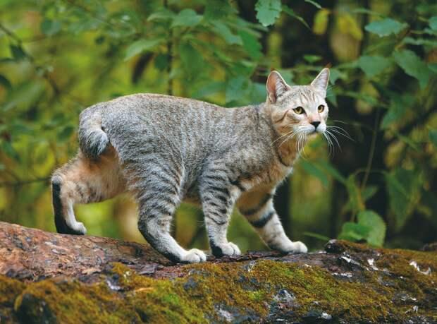 Порода кошек Пиксибоб — «миниатюрная домашняя рысь»