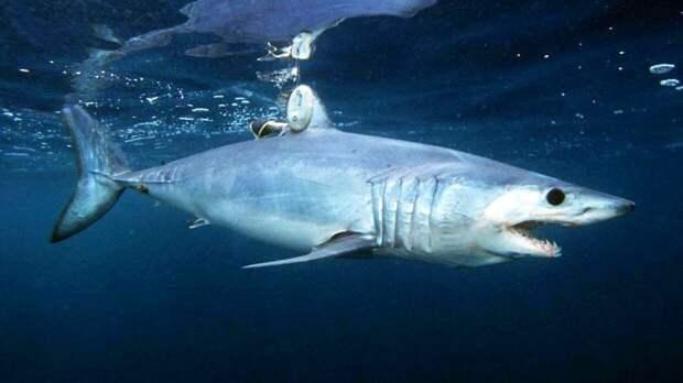 Биологи установили, как магнитные поля влияют на перемещения акул