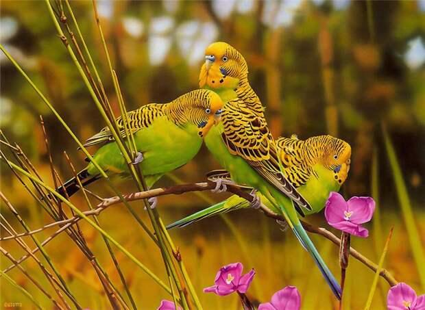 Дикие попужки в естественной среде обитания.