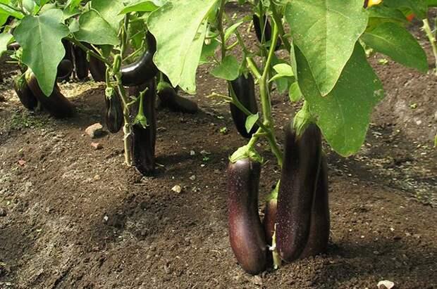 Когда и как посеять баклажаны на рассаду?