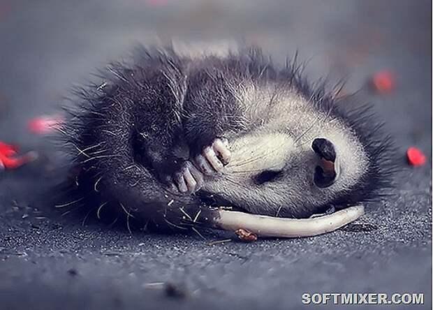 fotografii-possumov-i-opossumov_11