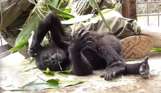 Малышка-горилла потеряла маму - и теперь зависит от объятий этого мужчины