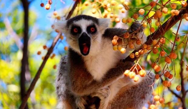 Лемур ест фрукты
