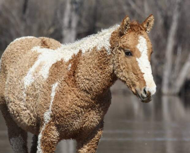 Кудрявые лошадки — невероятно красивые создания, о которых мало кто знает!