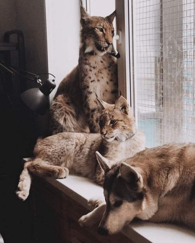 Девушка Анастасия спасла рысей, а теперь Геральт и Булочка живут у нее дома