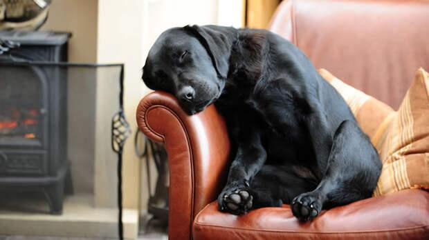 Сытая и уставшая собака реагирует на громкие звуки менее болезненно