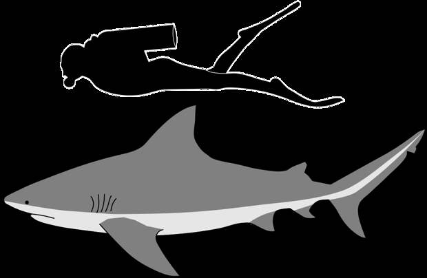 Сравнение человека со средней тупорылой акулой. Фото: Kurzon - Own work, CC BY-SA 4.0
