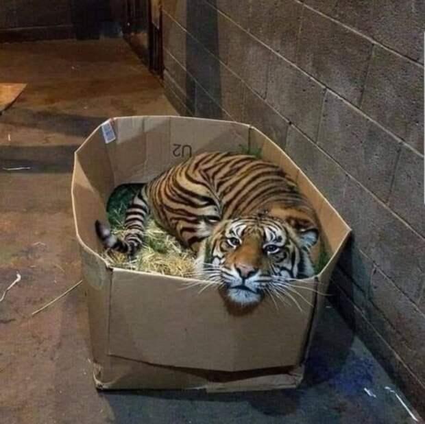 Большие кошки тоже любят коробки.