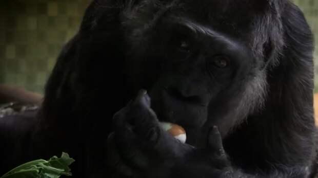 Планета обезьян: по всему миру отмечают День горилл