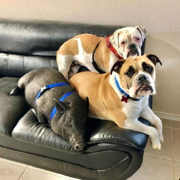 Собаки и поросенок