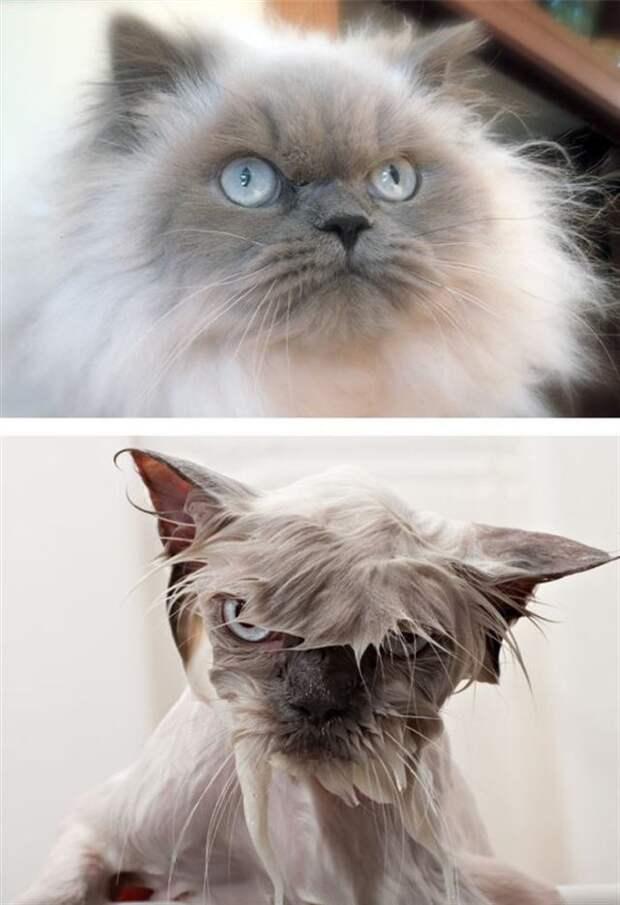 Помыты, но не сломлены. Фотографии котов, которым пришлось покупаться