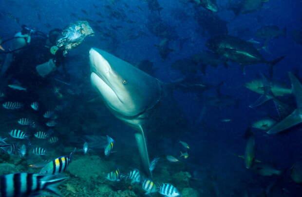 Аквалангист и молодая акула-бык. Фото Клаус Йост