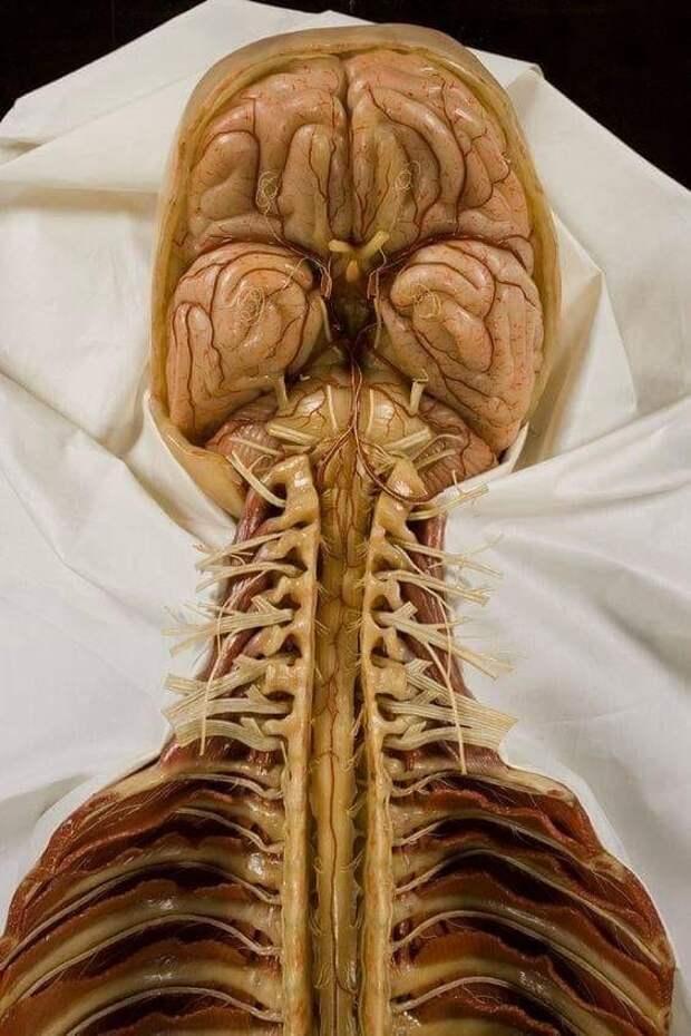 Мозг, ствол мозга и спинной мозг из воска