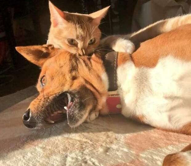 Кот-вампир животные, коты, смешные картинки, юмор