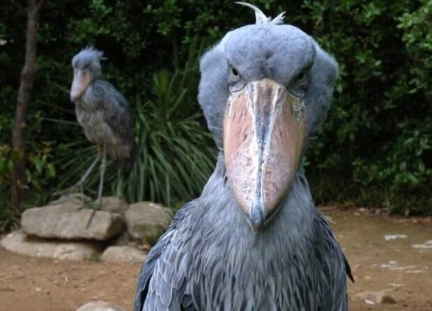 Китоглав — одна из самых больших и необычных птиц в мире